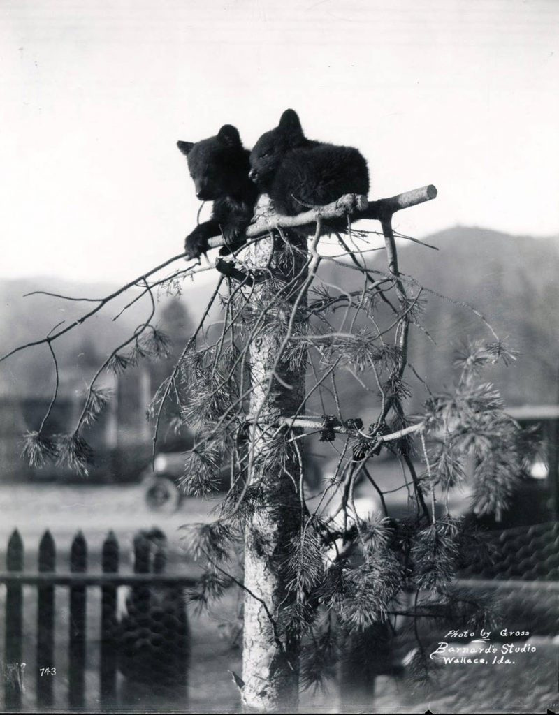 Osburn bear cubs 1925